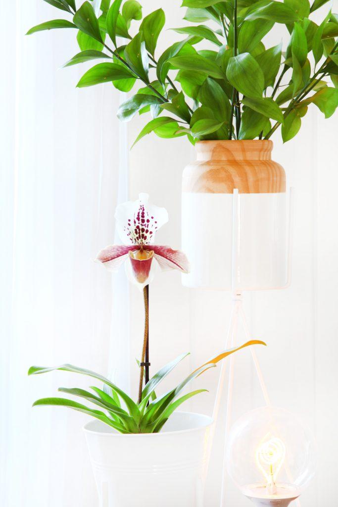 plant-blog-PAPHIOPEDILUM