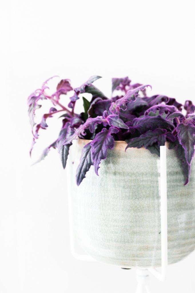 fluweelplant-paars-makkelijk-onderhoud-review-blog