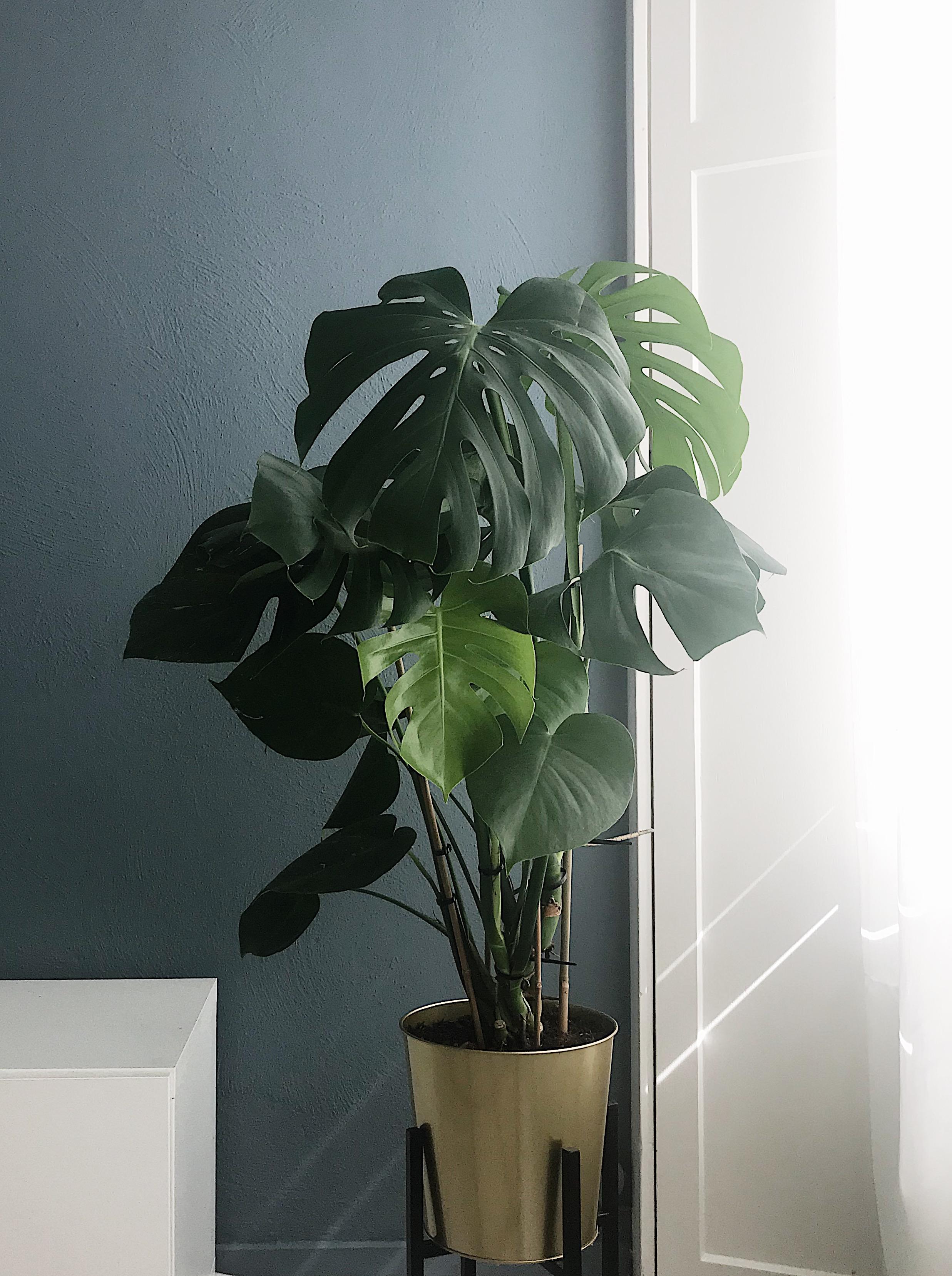 plantenapps, monstera, plant, voorbeeld, styling, groen, urban jungle